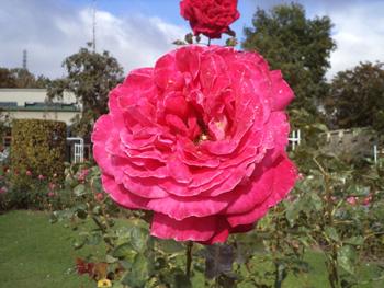 прага розы