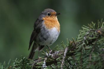 финляндия птицы